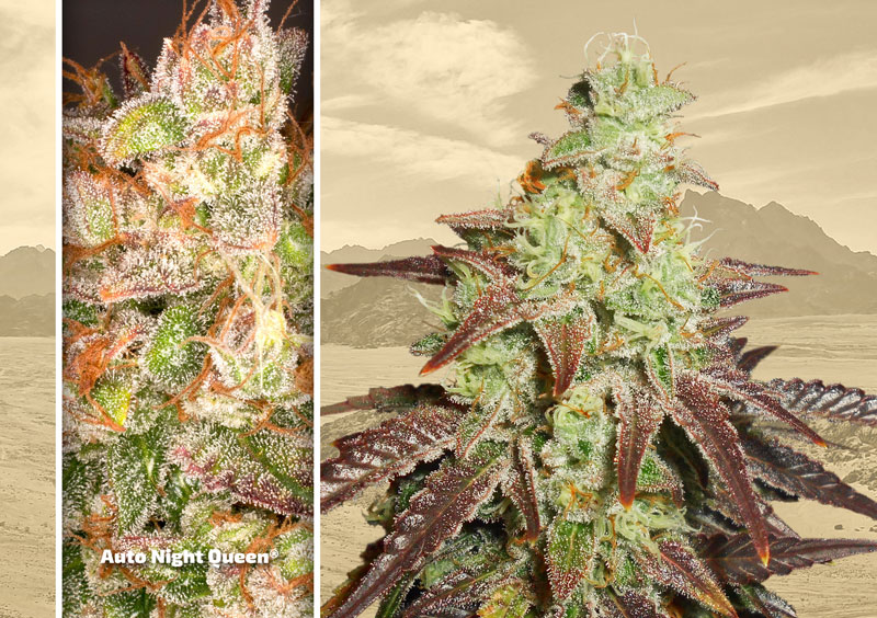 dutch-passion-cannabis-seed-company-top-5-autoflower-auto-night-queen