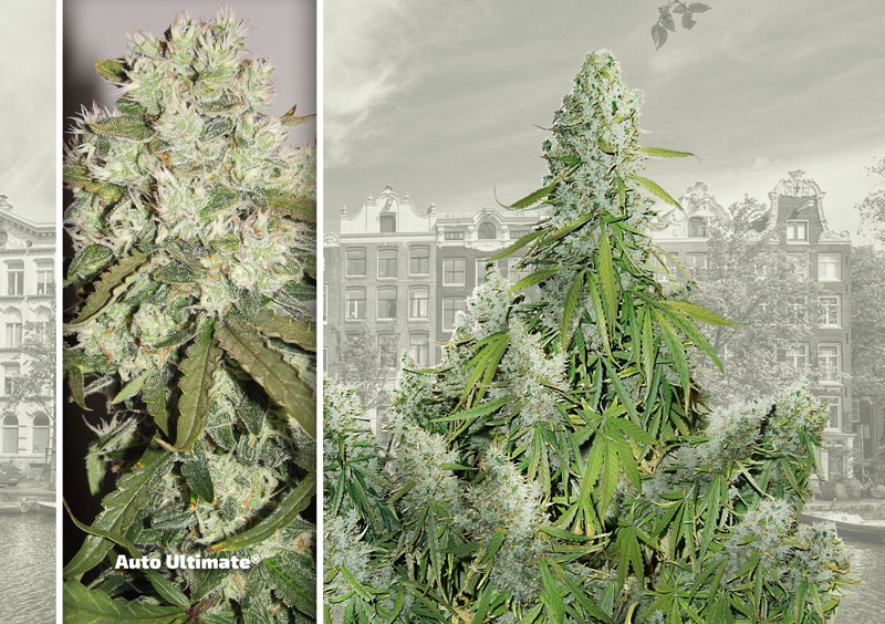 dutch-passion-cannabis-seed-company-top-5-autoflower-auto-ultimate-xl-yields