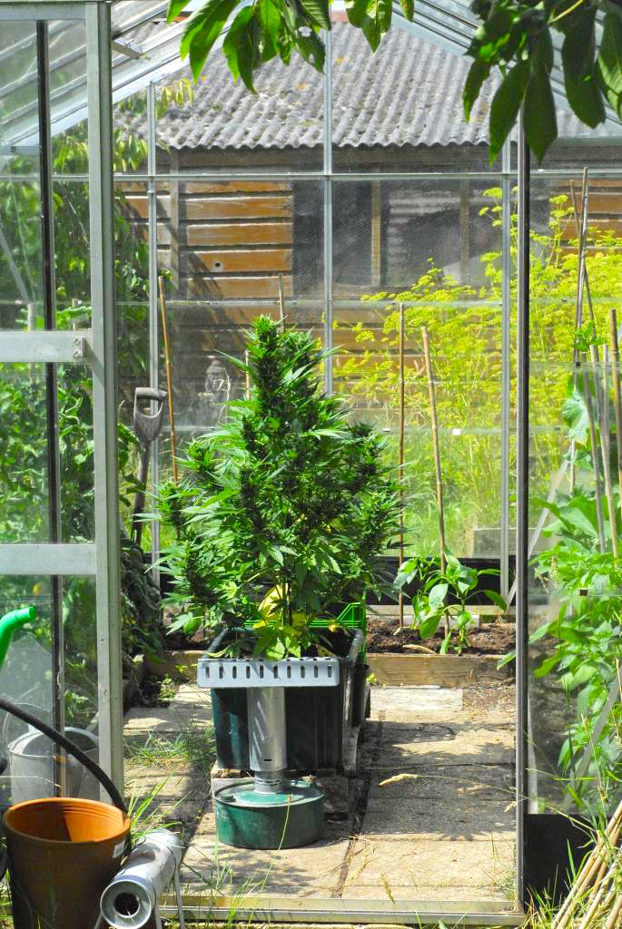 Cannabis growing in a greenhouse 7 easy tips for a big for Easy to grow outdoor plants