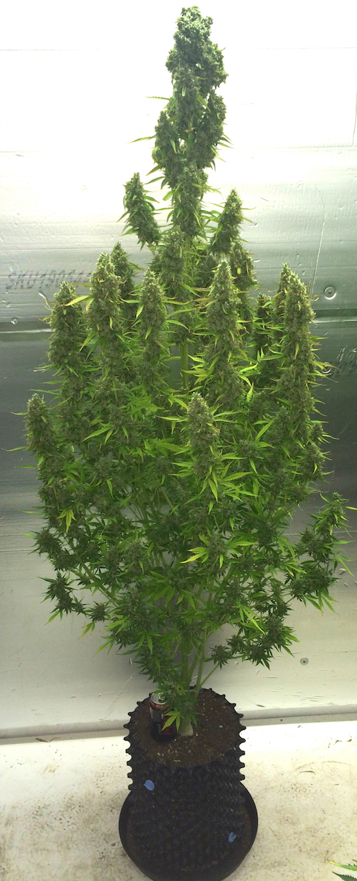 final look at an amazing grow, 2 metre plant, 300 grams