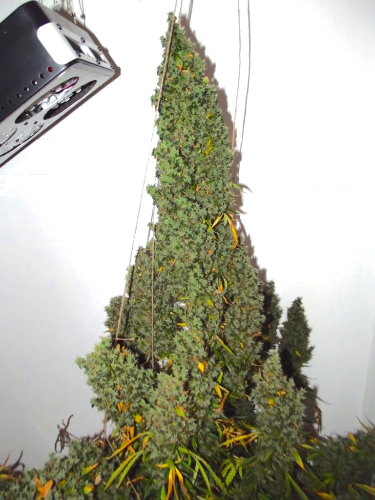 Autoultimate Grow Review Huge Cannabis Home Grow With