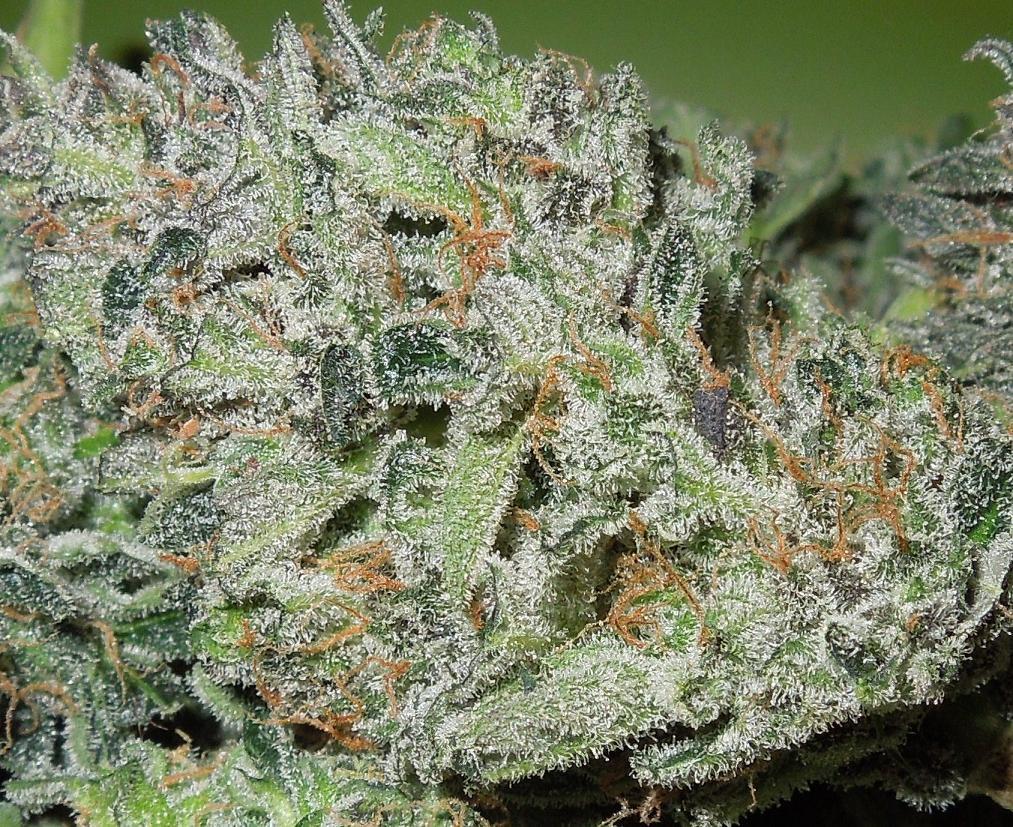 frosty buds