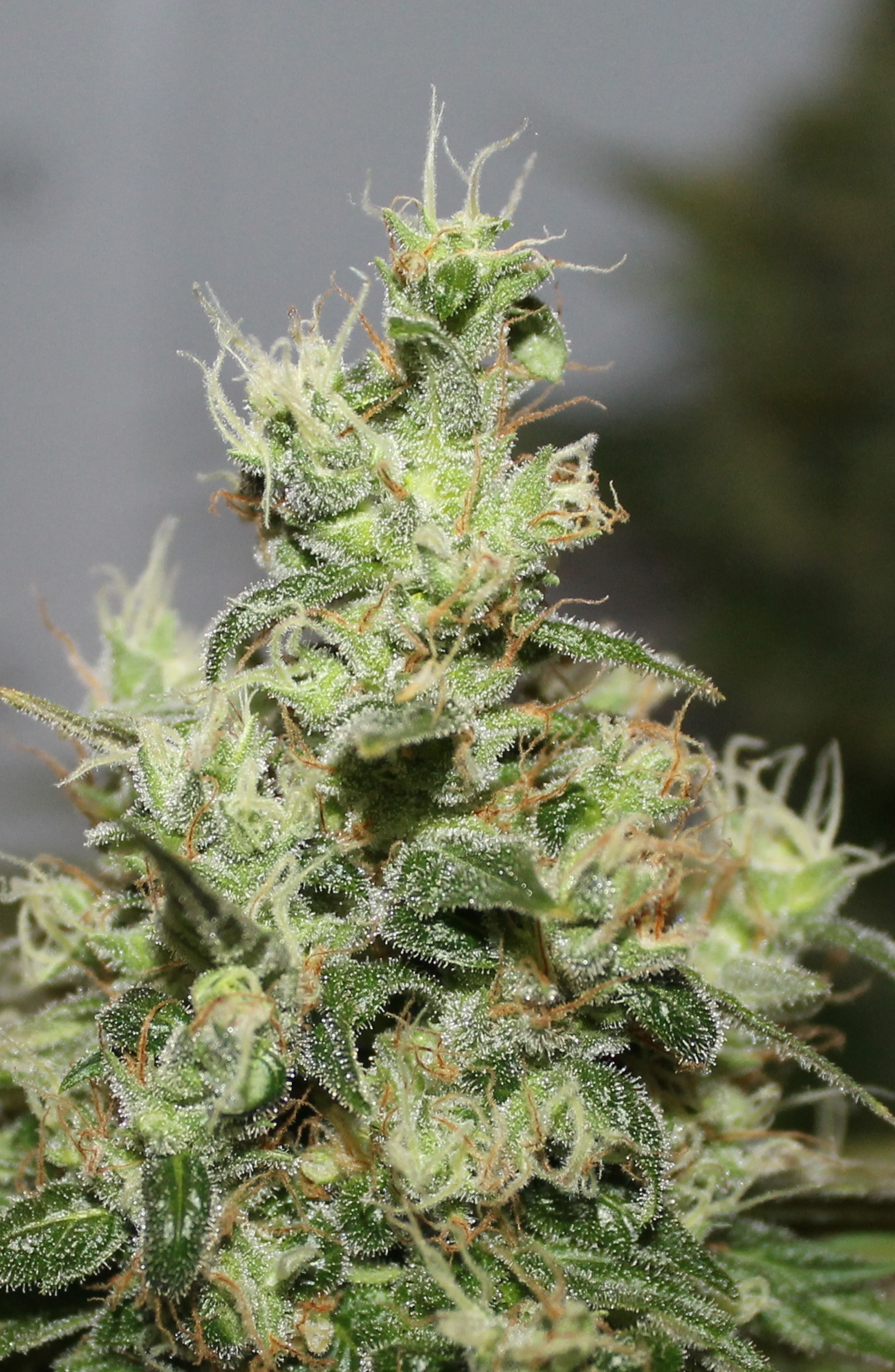 plenty of trichomes