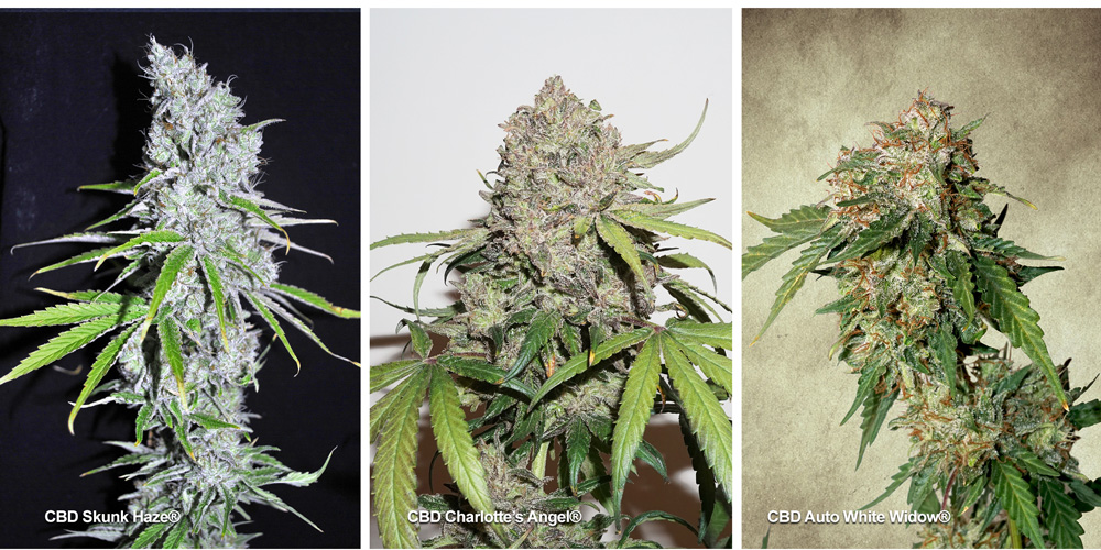 CBD Rich Cannabis Seeds