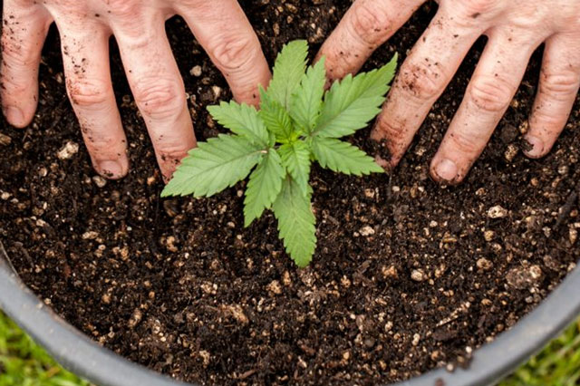 Two hands next to a growing cannabis plant