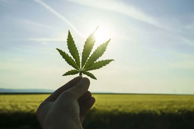 hand-holds-cannabis-leaf-in-sunlight