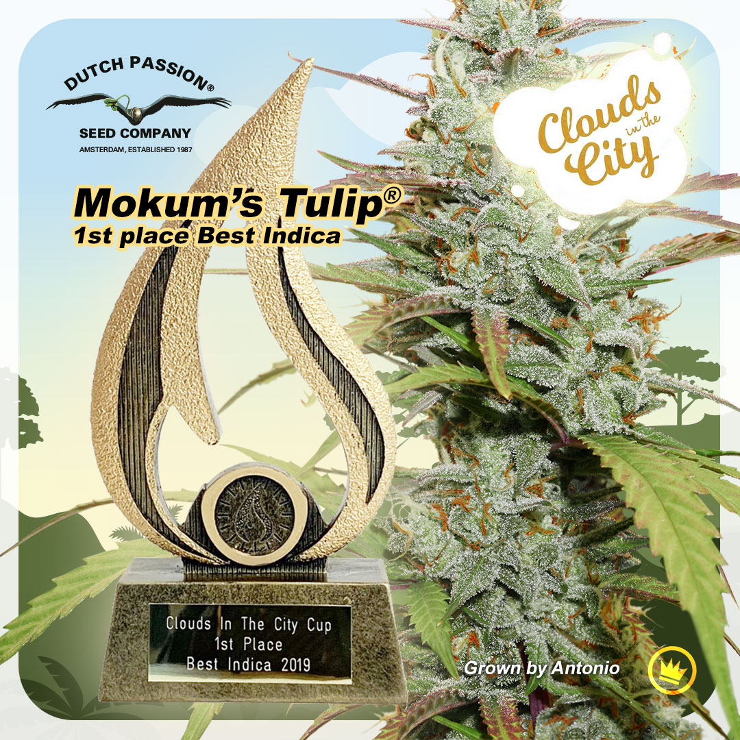 Clouds In The City Cup - Mokum's Tulip 1st Place Indica