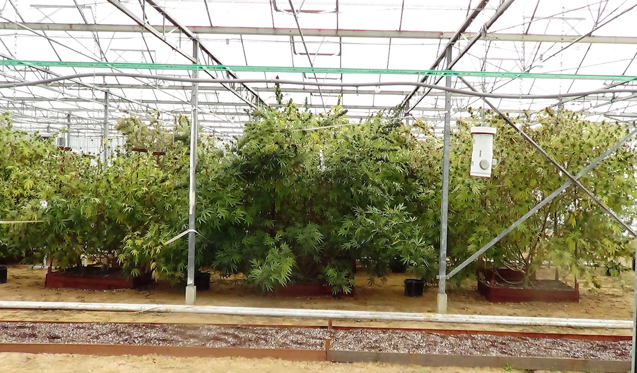 epic frisian dew greenhouse grow, totally epic