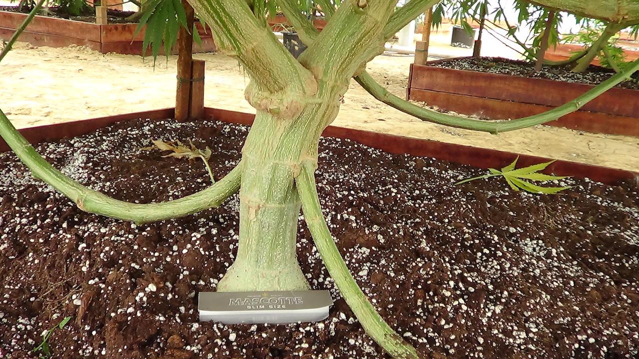 huge stem