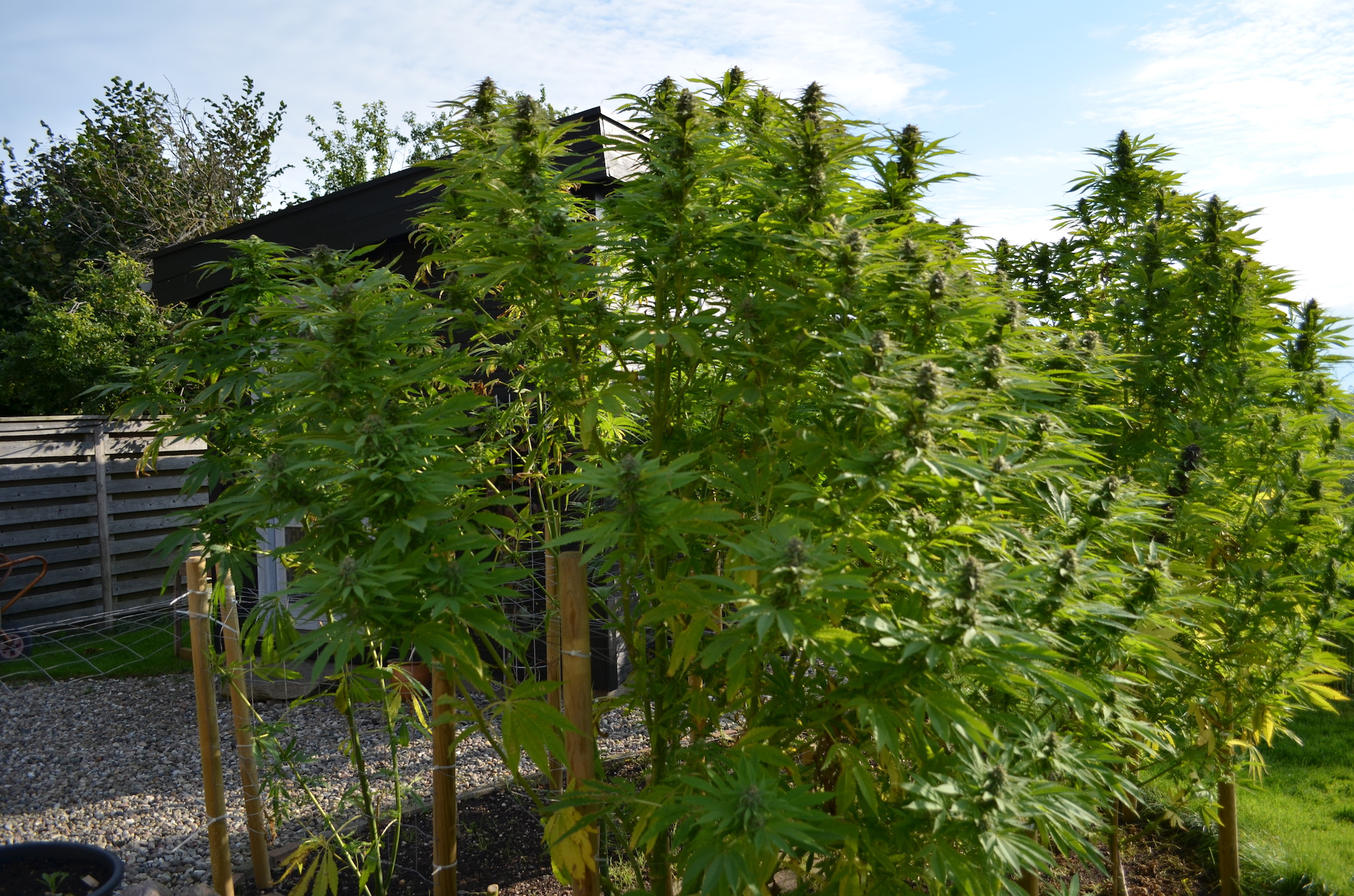 Frisian Dew outdoor cannabis grow from northern UK Dutch Passion