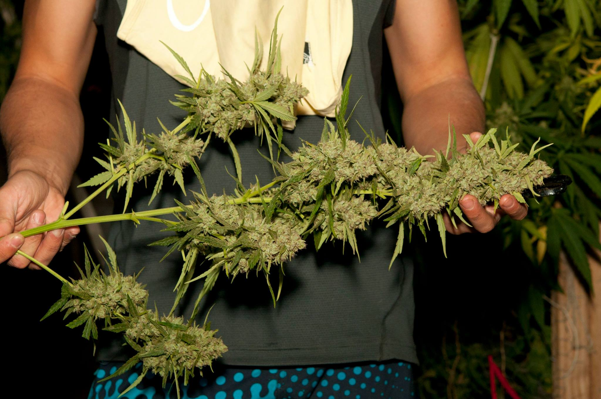 Frisian dew the tough outdoor cannabis variety dutch for Skunk interieur