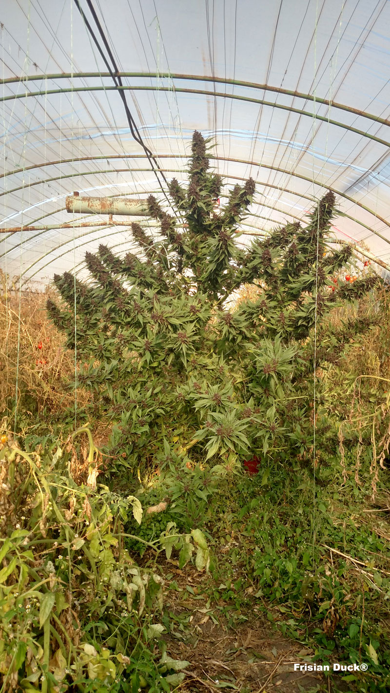 dutch-passion-cannabis-seed-company-frisian-duck-a-cannabis-plant-with-leaves-that-look-like-duck-feet-in-a-greenhouse
