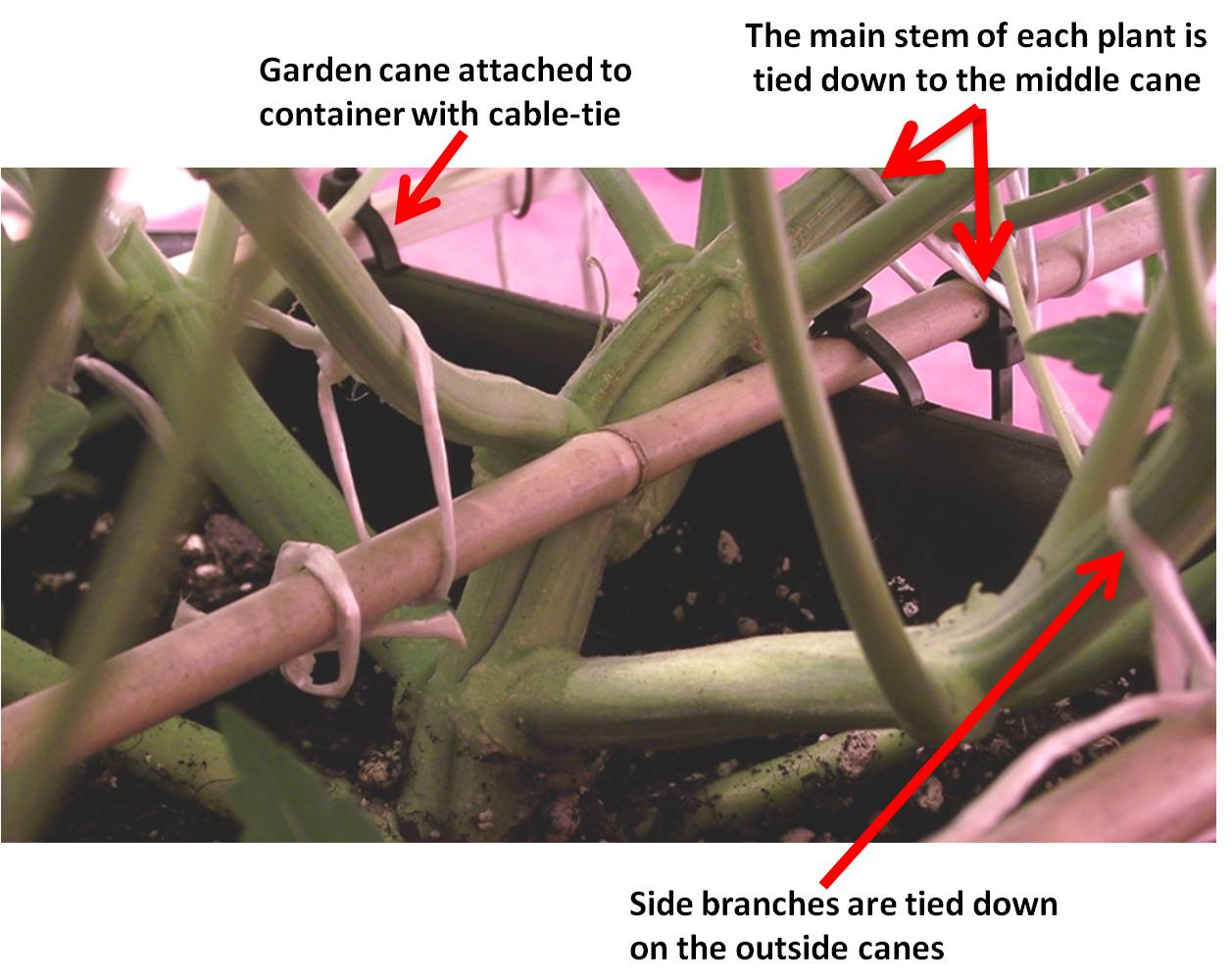 illustration of how hazy grows his plants with garden canes