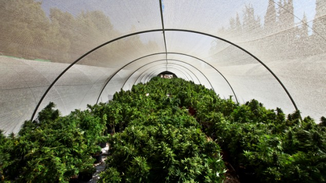 polytunnel of pot in Israel