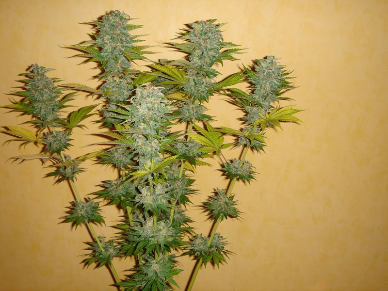 dutch-passion-cannabis-seed-company-orange-bud-one-of-the-best-sativa-dominant-varieties