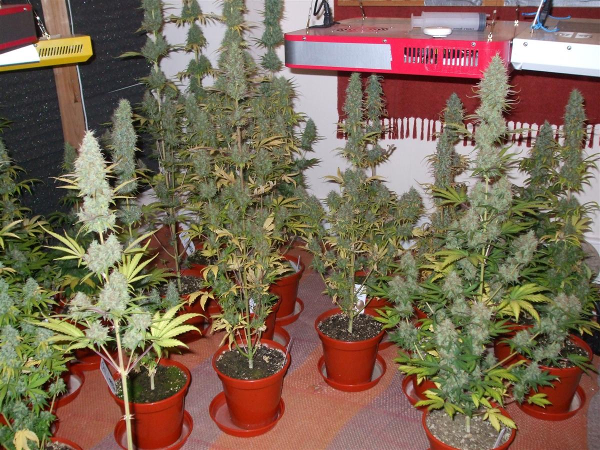 several finished plants & Power Plant Grow Review. Grown from seed to harvest under 12/12 ...