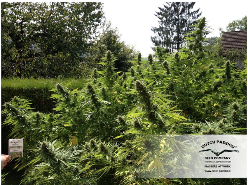 Grow Cannabis Outdoors The Easy Way Dutch Passion