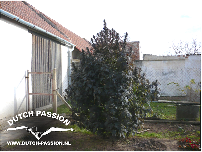 Grow cannabis outdoors the easy way dutch passion for Exterieur weed