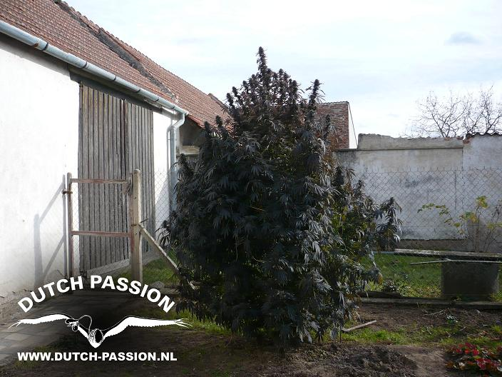 Growing weed easily outdoors dutch passion for Engrais floraison cannabis exterieur