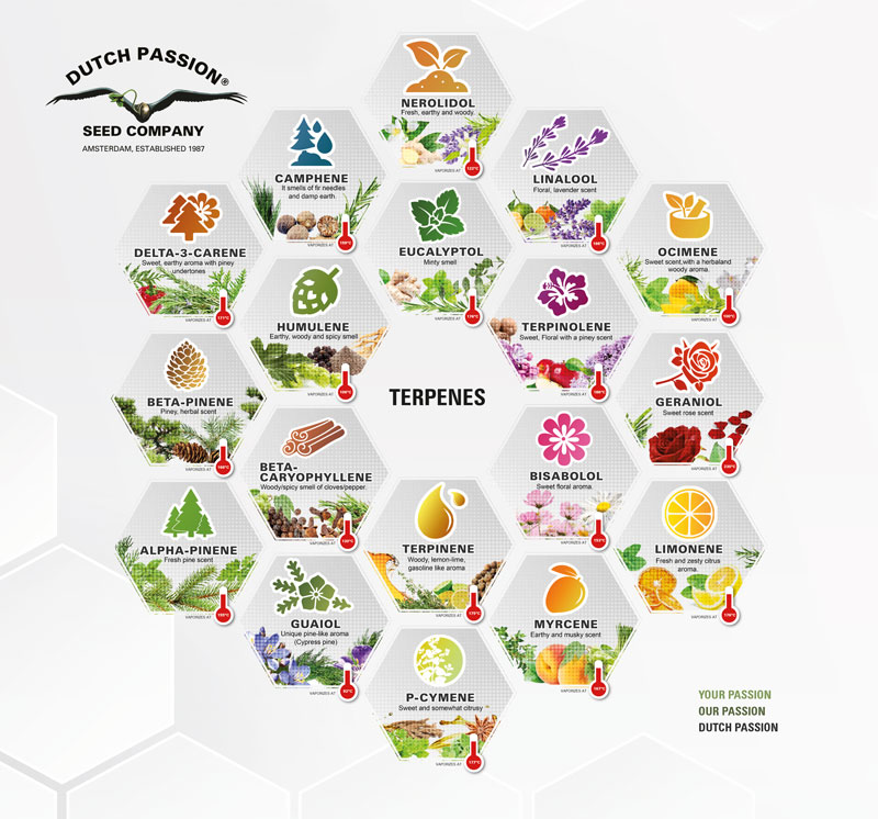 terpene-illustration-dutchpassion-cannabis-flavonoids-cbd-cbg-cbc-thc-thcv-cannabinoids