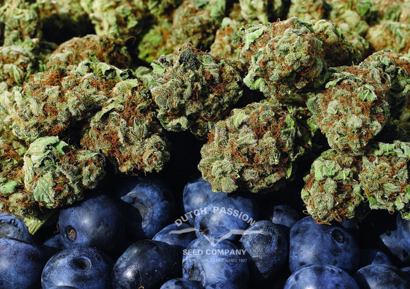 blueberry-flavonoids-anti-oxidant-rich-cannabis