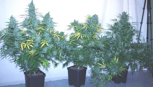 Tundra grow by insert name here