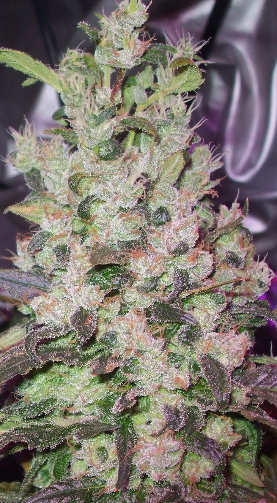 frosty nuggets