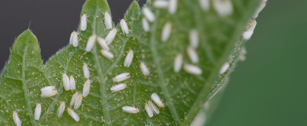 What is wrong with my cannabis plant? Whitefly