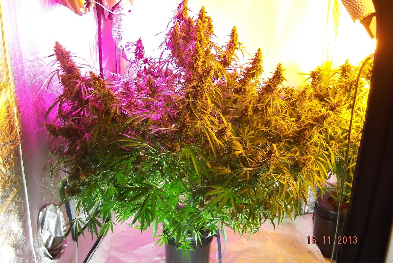 grown under led, plasma and hps.  amazing