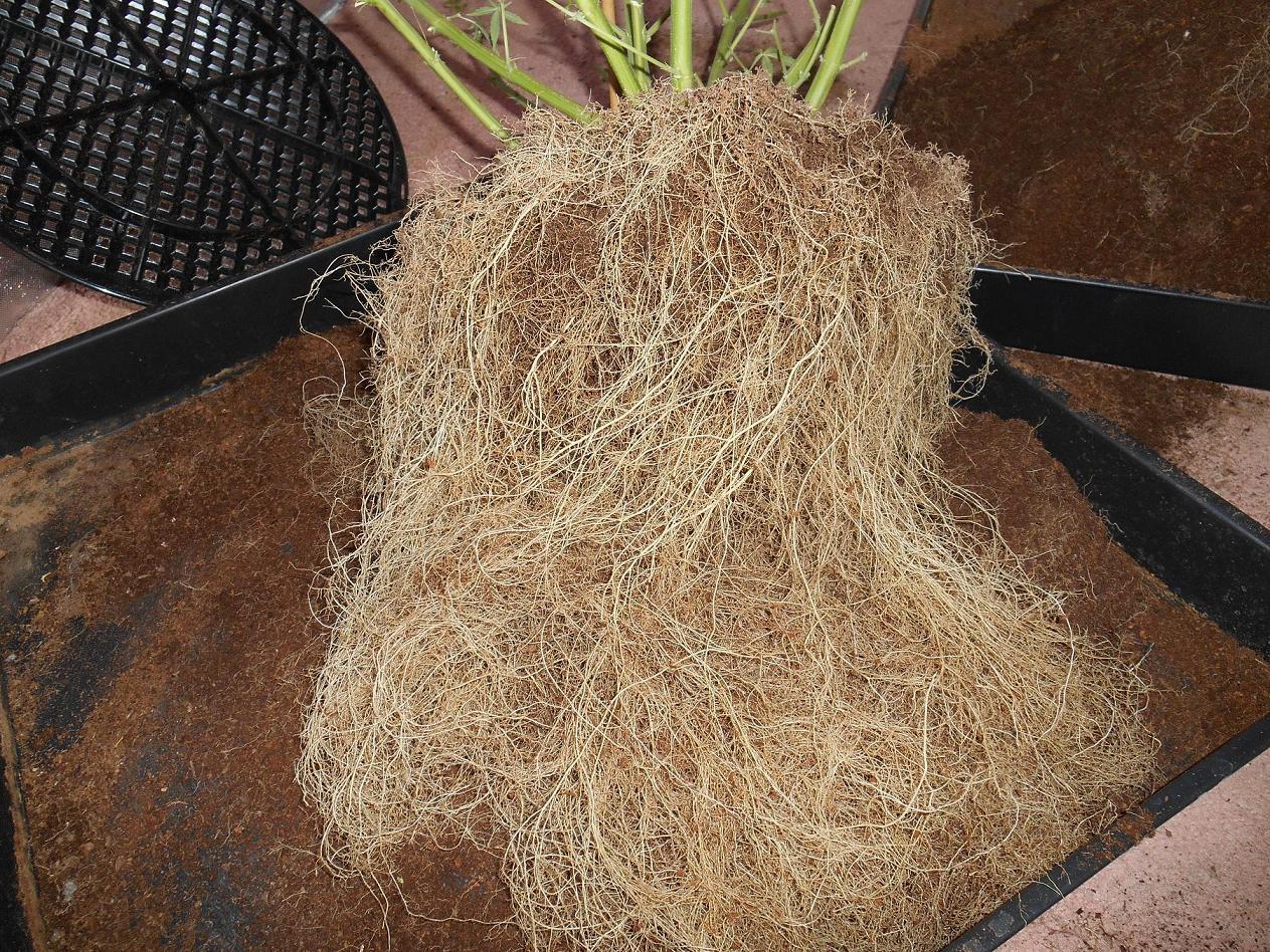 a massive coco-fibre root ball, looks like a DWC plant
