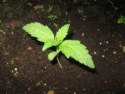 automazar seedling 1