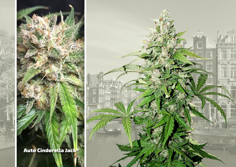 dutch-passion-cannabis-seed-company-top-5-autoflower-auto-cinderella-jack