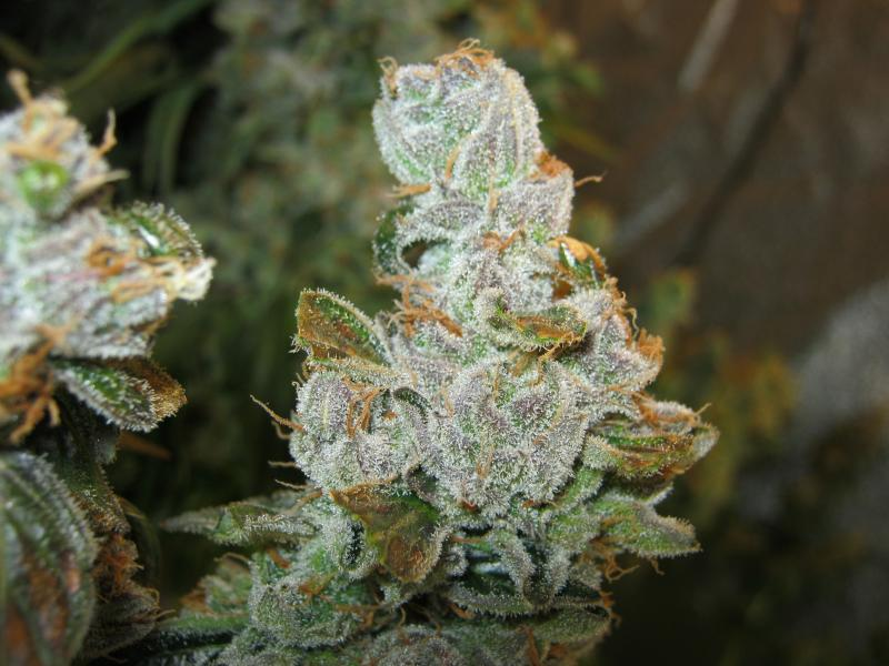 close up of frosty nugget