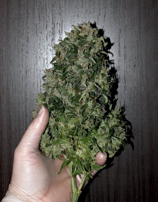 Auto white widow from dutch passion grown for a medical patient hydroponic reservoir mightylinksfo