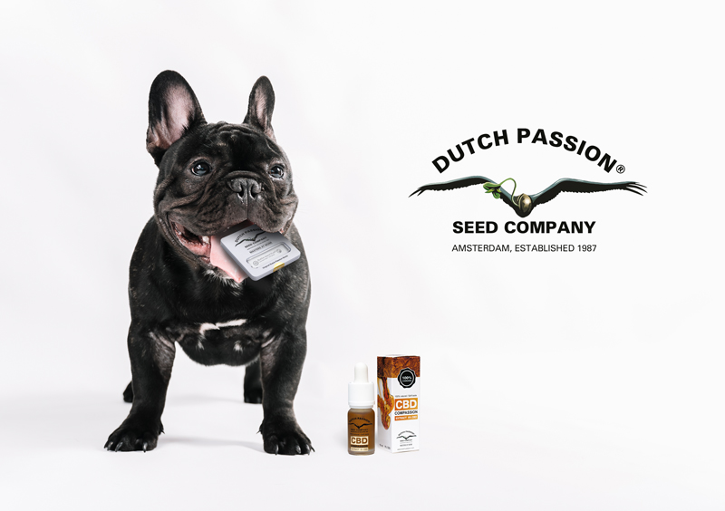 - cute French bulldog with package of DutchPassion CBD seeds in its mouth