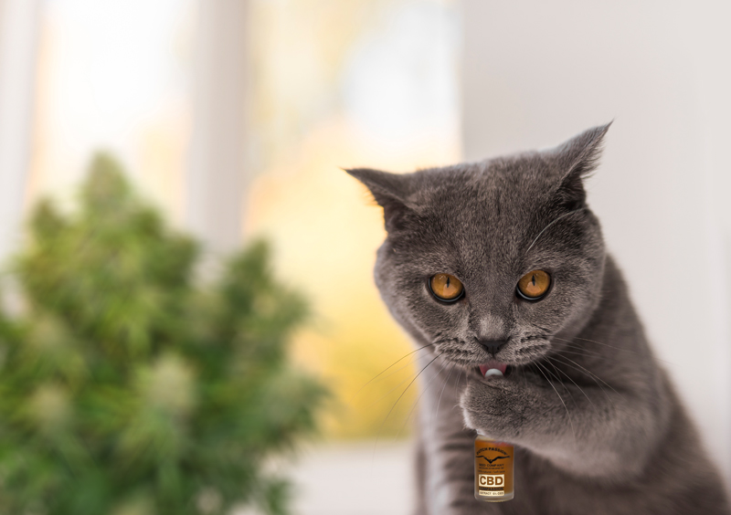 British shorthair cat licks dutch passion CBD oil