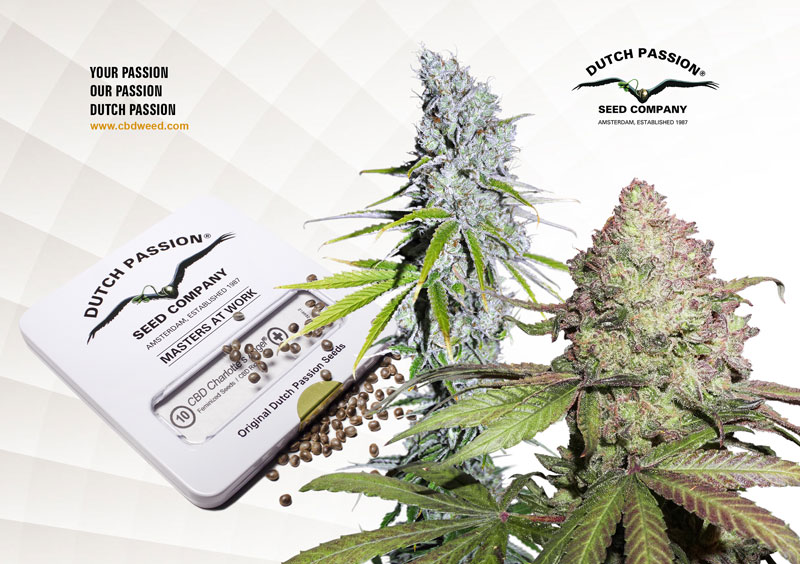 cbd rich dutch passion cannabis seeds