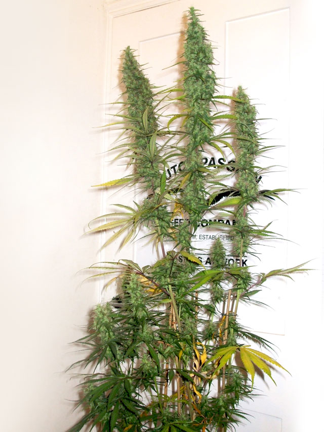 desfran-sativa-high-thc-strain-marihuana-expert-growers-dutchpassion-collection