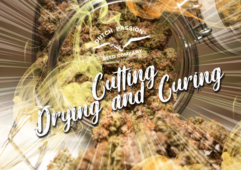 Curing and drying your cannabis
