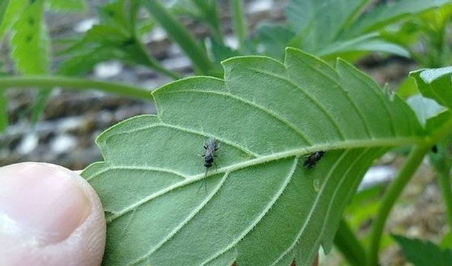 controlling fungus gnats in cannabis grows