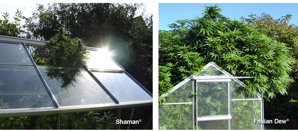 Growing Cannabis in a Greenhouse | Dutch Pion on practical home plans, deck plans, fence plans, solar powered home plans, christmas plans, playhouse plans, gardening plans, outdoor plans, windmill plans, cold frame plans, earth covered hobbit home plans, cabin plans, pergola plans, garage plans, cottage plans, studio plans, permaculture plans, sandbox plans, barn plans, green home plans,