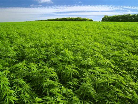 field of weed