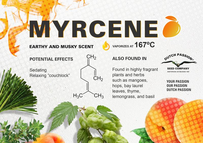 Myrcene terpene cannabis effect