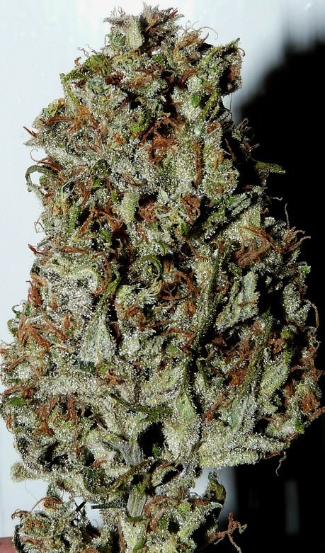juicy nuggets with lots of trichomes