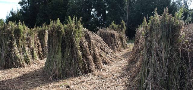 harvested hemp - dutch passion