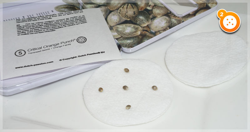 Step 2: Place the seeds on the cotton pads