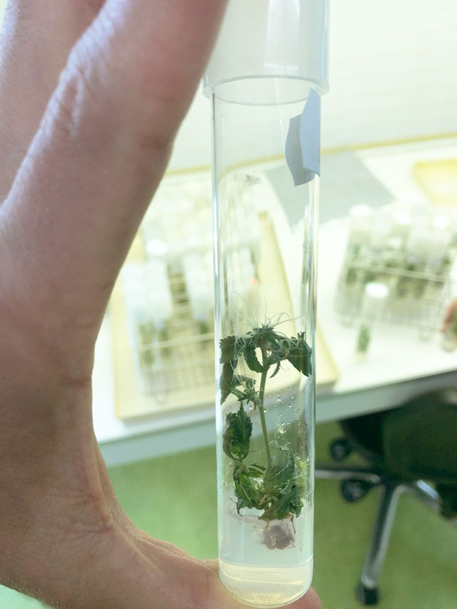 lab-tube-shows-cannabis-plant