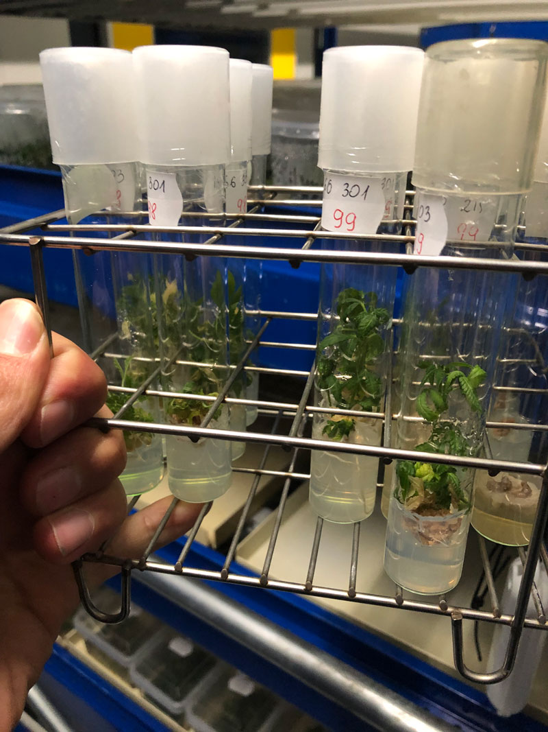 glass-vial-genetics-experiment-cannabis-genetics-polyploid-laboratory