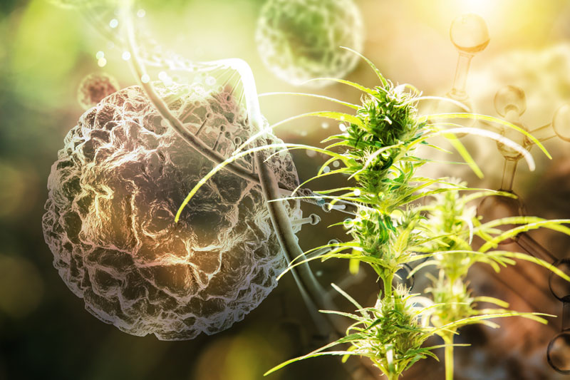 new research changes cannabis genetics