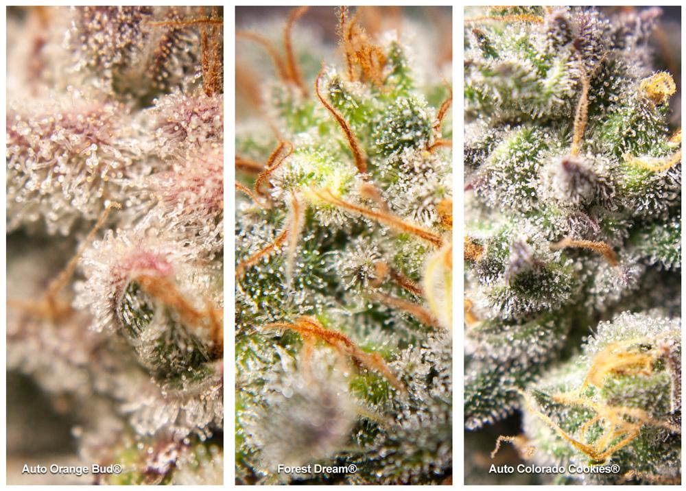 THC Cannabinoids